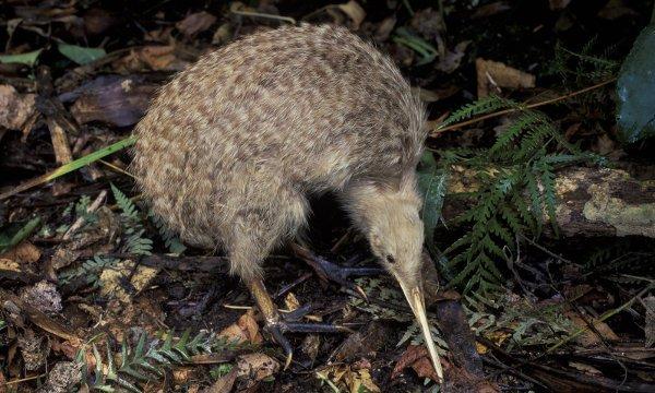 Der Kiwi ist das einzigartige Nationalsymbol Neuseelands.